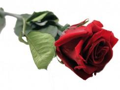 Unvergängliche rote Rose