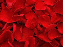 Bed of Roses - Rose Petals